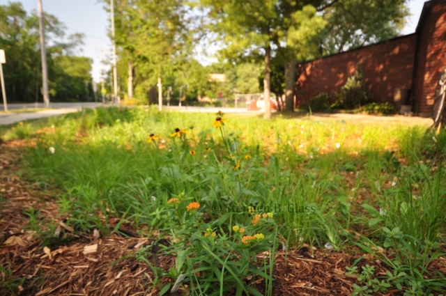 A new rain garden at Thoreau Elementary School, planted in the spring of 2012.