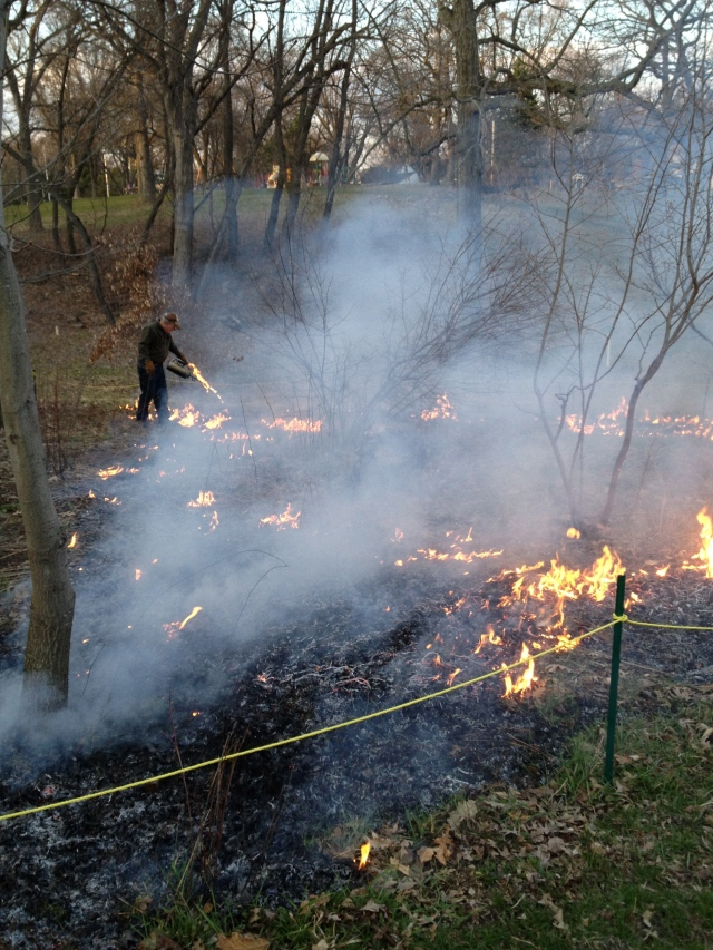 Jack Lawton with the drip torch is setting the prescribed prairie fire in Westmorland Park on April 23, 2013.