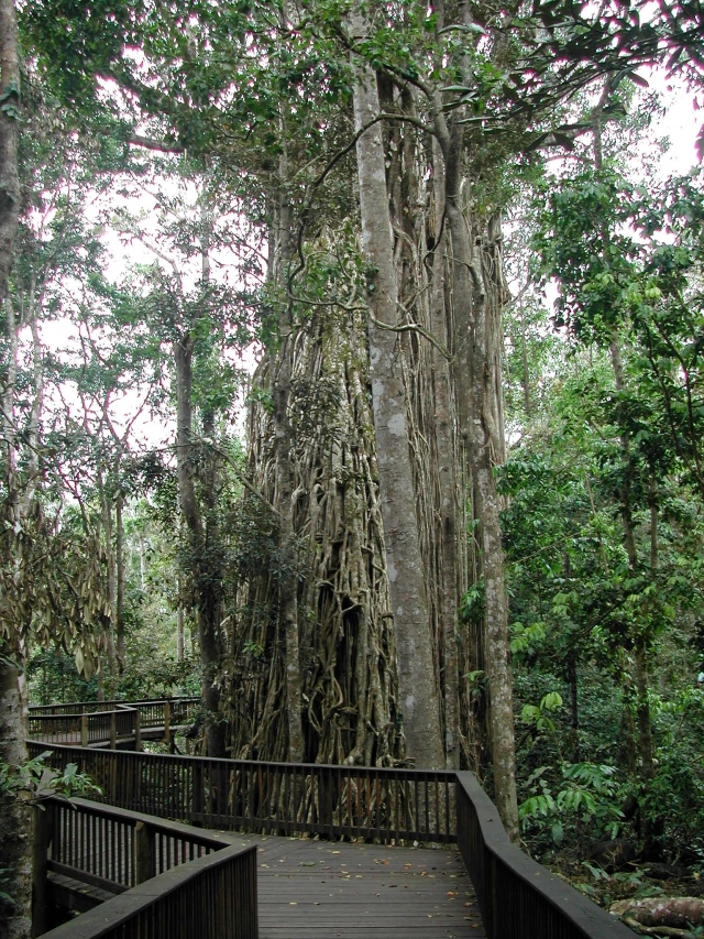 "The ""Curtain Fig"""