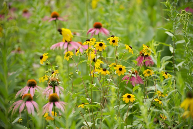 Brown-eyed Susan and Purple Coneflower in a prairie planting along the SW Bike Path.
