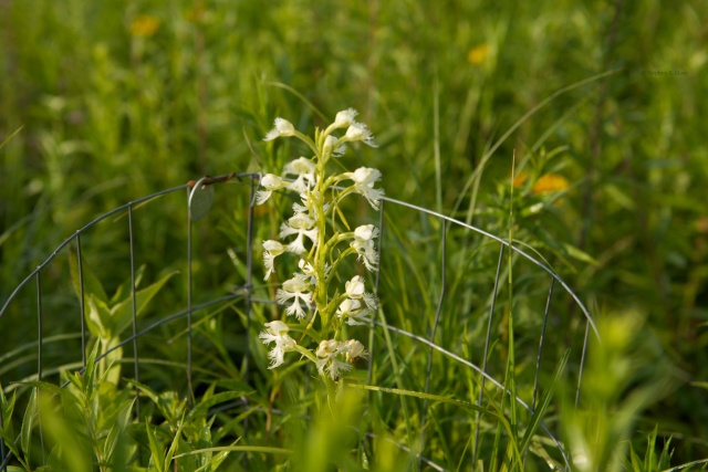 Prairie White-fringed orchid (Platanthera leucophaea) a Federally Threatened species growing in a restored prairie near Madison.