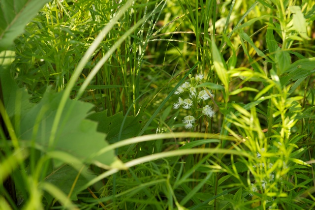 Prairie white-fringed orchid growing in a prairie restoration west of Madison.