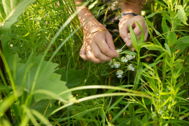 Hand pollinating an orchid flower.