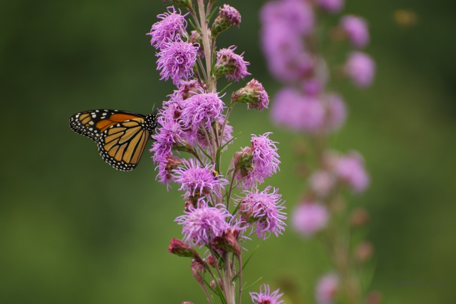 Monarch butterfly visiting showy blazing star (Liatris liguistylis) in an urban public space planted to prairie plants.