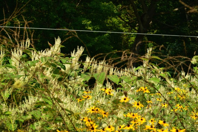 Here the native Brown-eyed Susan (Rudbeckia) is able to find space on the edge of the knotweed clone.