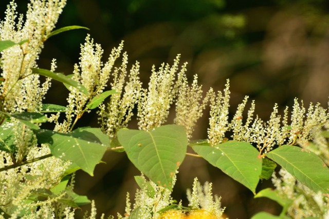 Japanese knotweed flowers are attractive but the plant behaves badly.