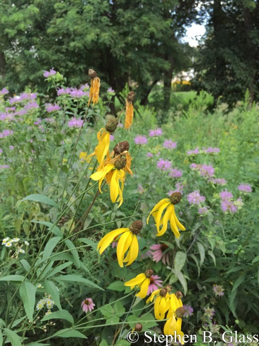Yellow coneflower and bee balm in the Wetmorland Prairie Ravine on the bike path.