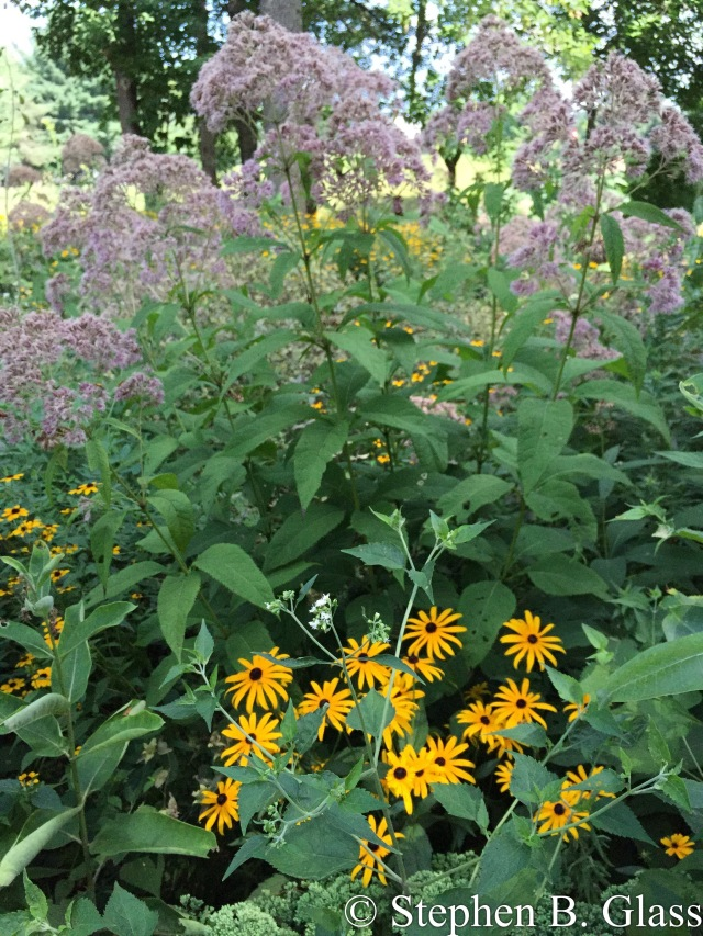 Joe Pye Weed and brown-eyed Susan in the Glenway prairie garden.