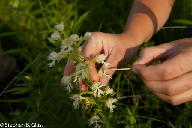 A restoration ecologist placing an orchid pollen sac into a flower on the mother plant.