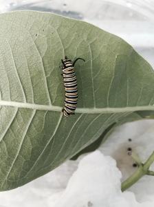 A fourth instar Monarch caterpillar on milkweed leaf.