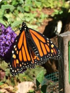 Female monarch feeding on butterfly bush (Budleia)