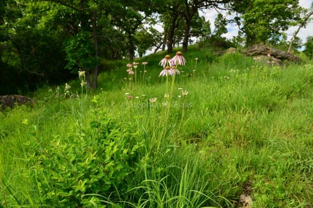 Pale Purple Coneflower (Echinacea pallid) on Picnic Hill