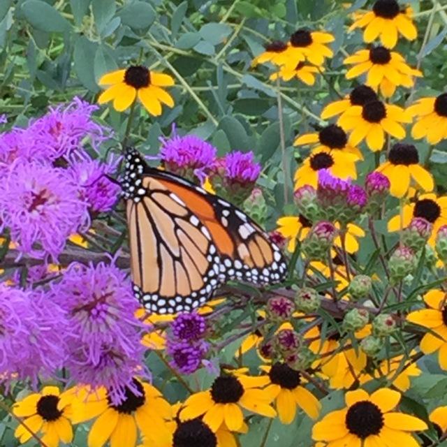 Female monarch on showy blazing-star (Liatris ligulistylis).
