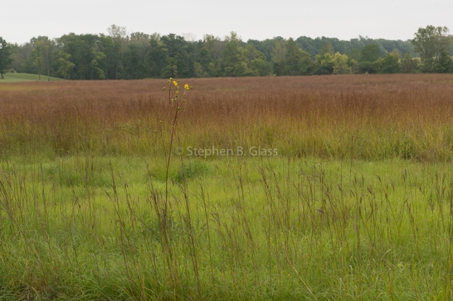 A trademark of a Shulenberg prairie planting is an emphasis on grasses in the heart of the prairie, surrounded by a verge of forbs