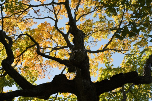 Sugar maple in the Kettle Moraine.