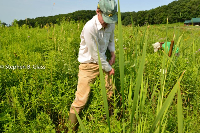 Staff from Integrated Restorations, LLC pulling white sweet clover (Meliotus alba) at the Swamp Lovers Preserve. 2014-07-17DSC_3136July 17, 2014STEPHENBGLASS